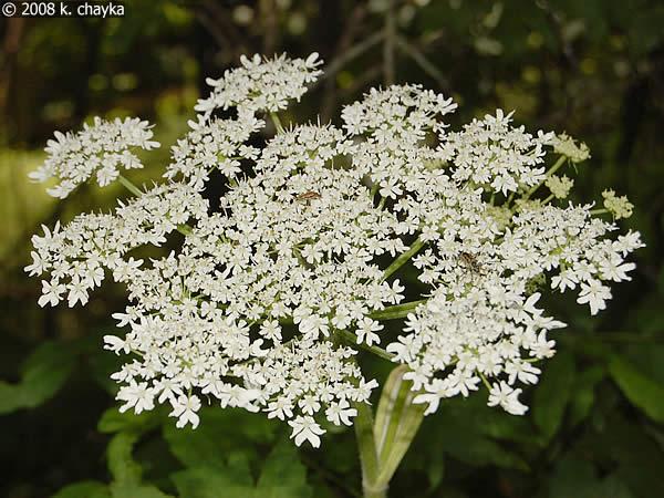 Heracleum lanatum common cow parsnip minnesota wildflowers flowers are in flat clusters mightylinksfo