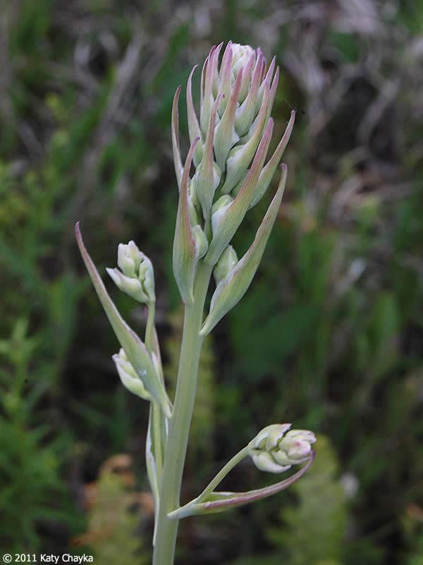 Zigadenus elegans (Mountain Death Camas): Minnesota ...