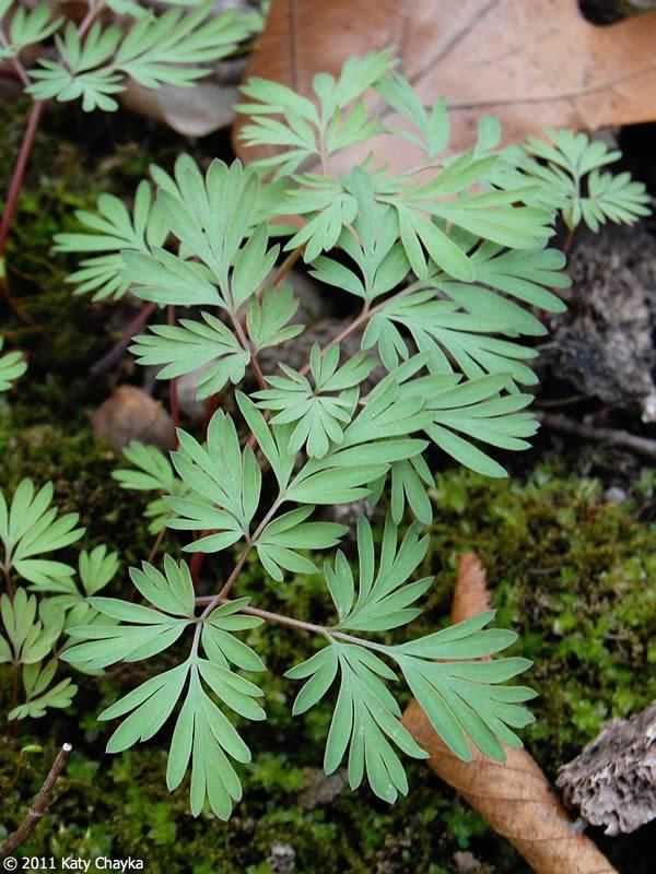 dicentra cucullaria dutchmans breeches minnesota