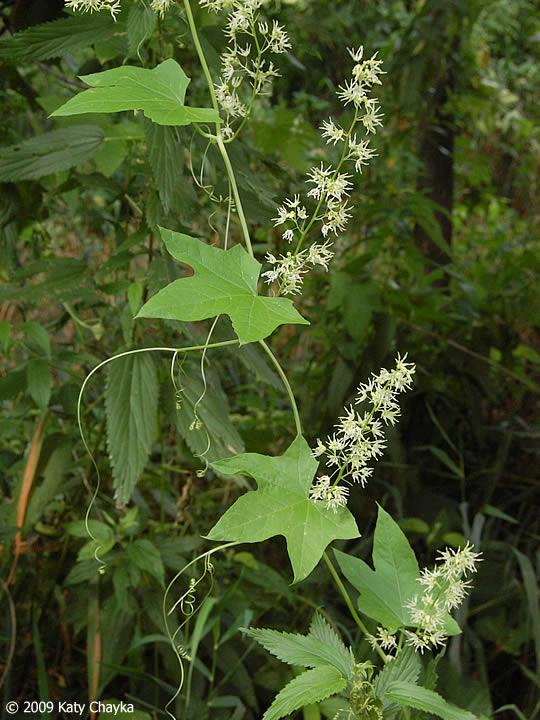 Echinocystis lobata wild cucumber minnesota wildflowers wild cucumber vine wild cucumber vine mightylinksfo