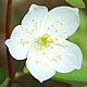 [photo of False Rue Anemone]