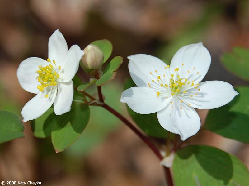 Enemion biternatum false rue anemone minnesota wildflowers flowers mightylinksfo