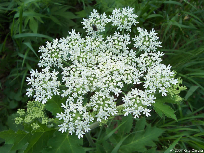 Image result for cow,s parsnip also known as