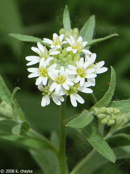 Hoary Alyssum on Flowers Cycle