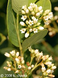 apocynum cannabinum indian hemp minnesota wildflowers
