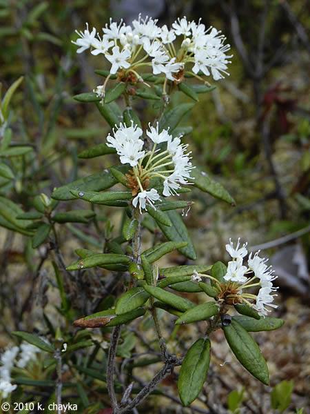 Rhododendron Groenlandicum Labrador Tea Minnesota