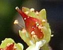[photo of developing fruit]