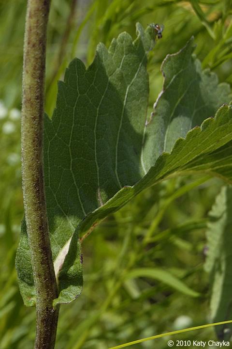 parthenium integrifolium wild quinine minnesota wildflowers