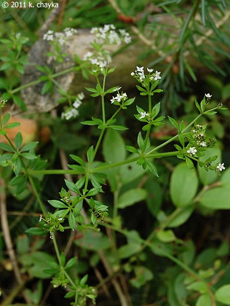 Galium asprellum (Rough Bedstraw): Minnesota Wildflowers