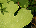 [photo of mature leaf]