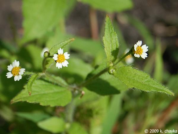 Galinsoga quadriradiata shaggy soldier minnesota wildflowers flowers mightylinksfo