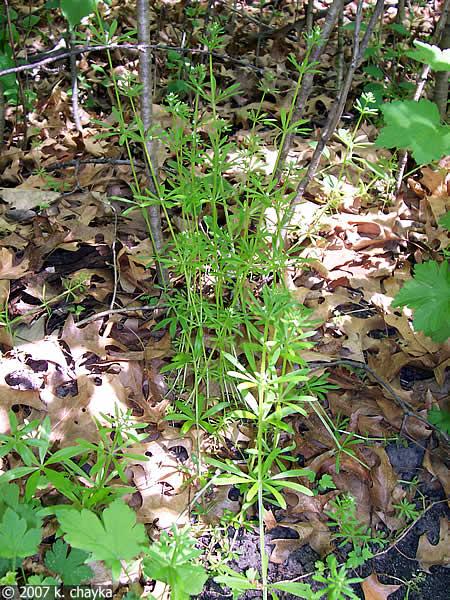 Galium Aparine Sticky Willy Minnesota Wildflowers