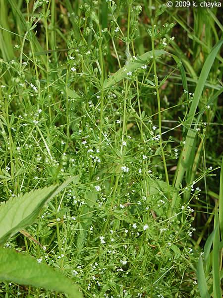Galium Tinctorium Stiff Marsh Bedstraw Minnesota