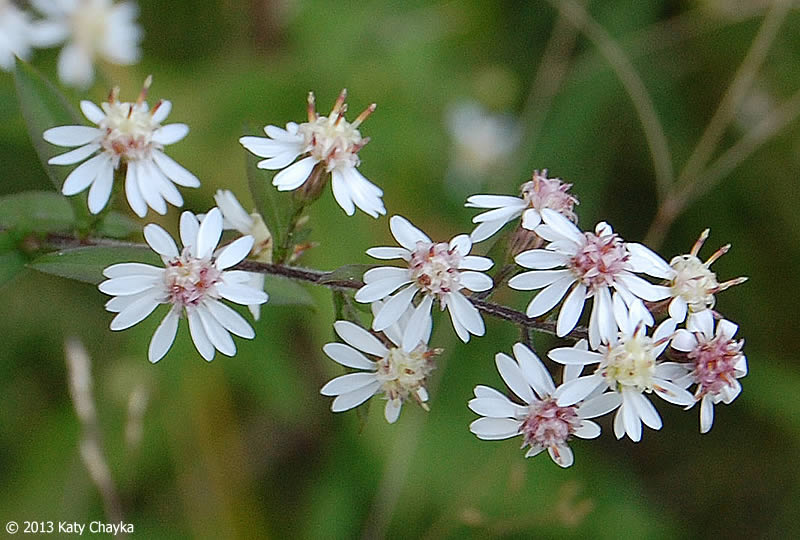 Calico Aster on Life Cycle Of A Flower