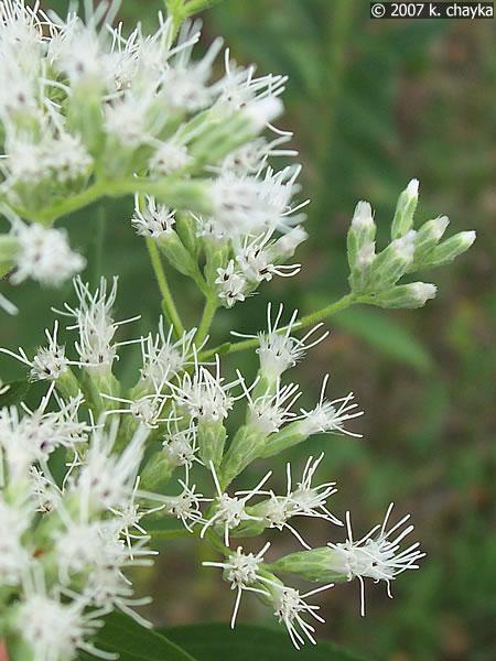 Eupatorium altissimum tall boneset minnesota wildflowers photo of flowers mightylinksfo