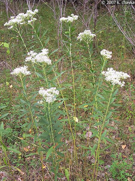 Eupatorium Altissimum Tall Boneset Minnesota Wildflowers