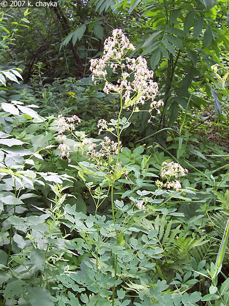 how to grow meadow rue