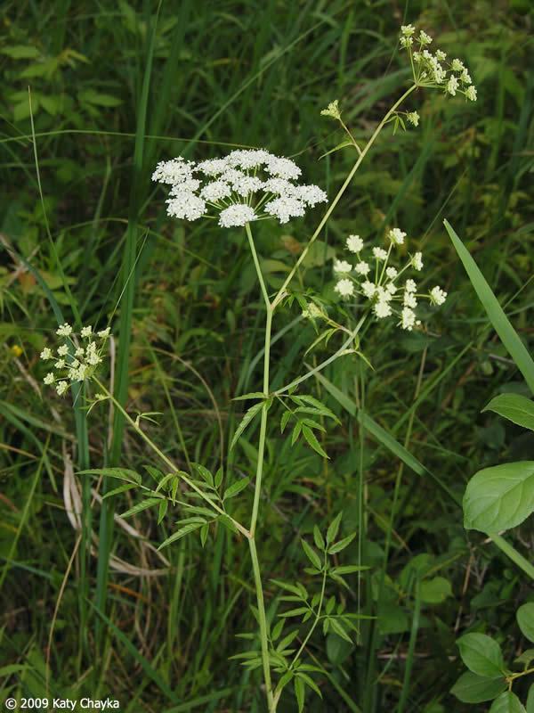 Cicuta Maculata Water Hemlock Minnesota Wildflowers