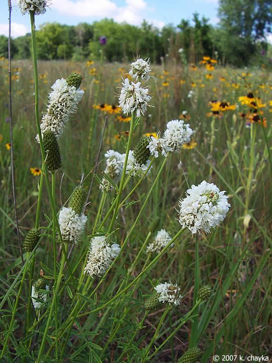 Dalea Candida White Prairie Clover Minnesota Wildflowers