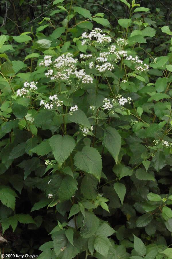 Ageratina Altissima White Snakeroot Minnesota Wildflowers