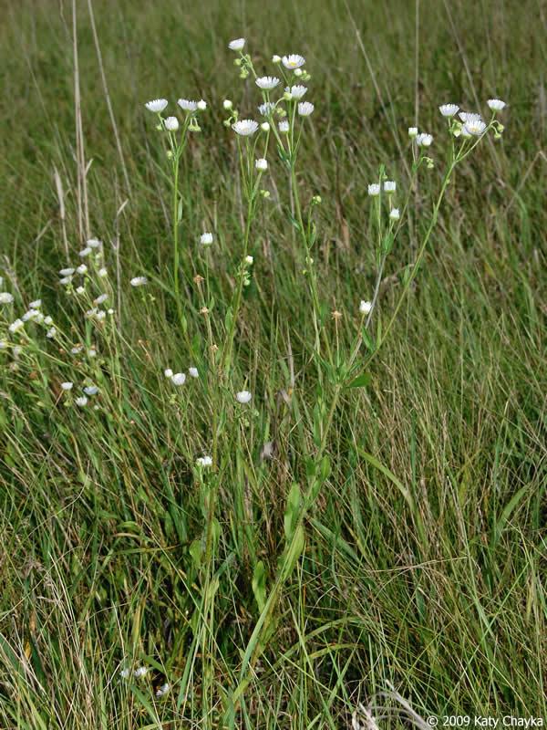 erigeron strigosus prairie fleabane minnesota wildflowers