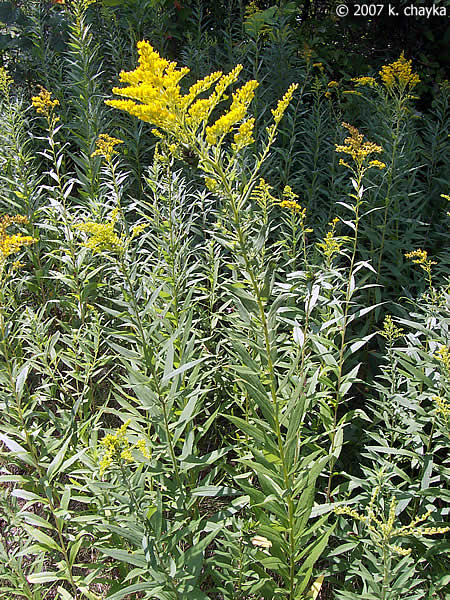 Goldenrod Plant Seed Solidago canadensis (C...