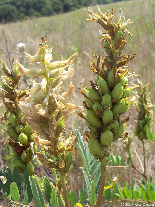 Pick A Part >> Astragalus canadensis (Canada Milkvetch): Minnesota Wildflowers