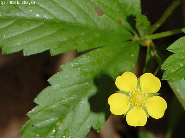 Potentilla simplex common cinquefoil minnesota wildflowers photo of flower mightylinksfo