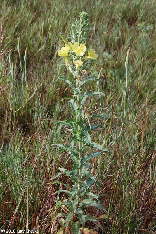 Knob Oenothera bienni...