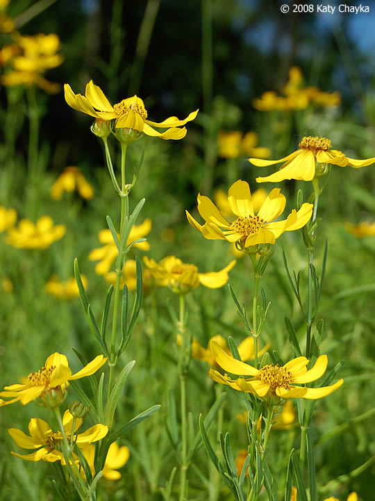 Coreopsis Palmata (Prairie Coreopsis): Minnesota Wildflowers