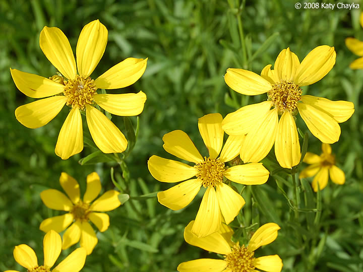Coreopsis palmata prairie coreopsis minnesota wildflowers photo of flowers yellow mightylinksfo