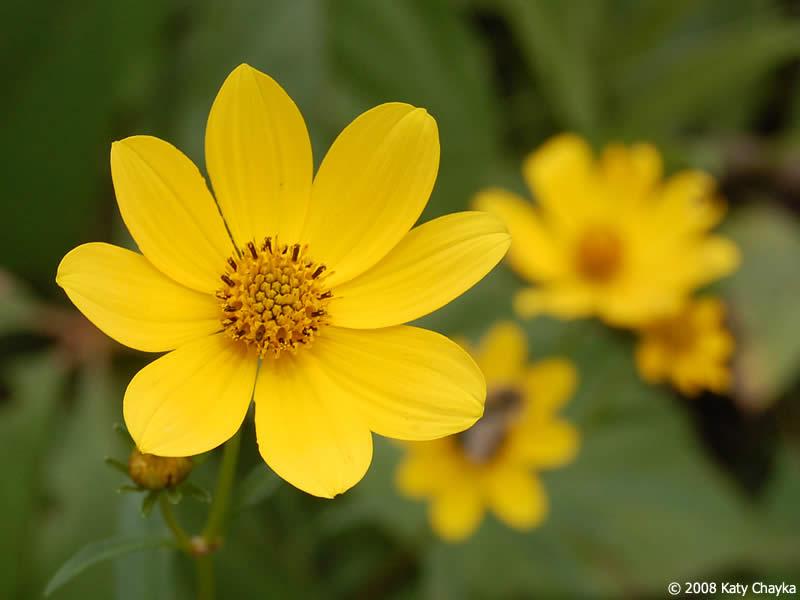 Bidens trichosperma crowned beggarticks minnesota wildflowers flowers mightylinksfo