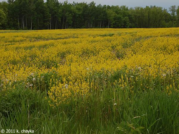 barbarea vulgaris garden yellow rocket minnesota