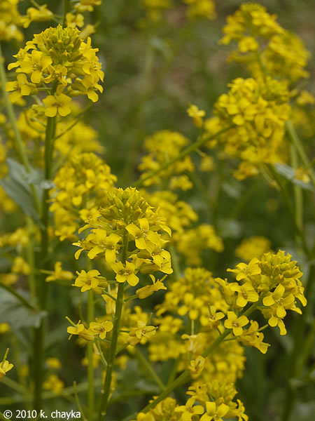 Barbarea vulgaris garden yellow rocket minnesota wildflowers flowers mightylinksfo