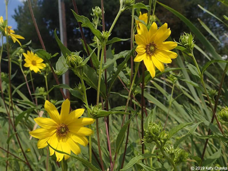 Helianthus giganteus Giant Sunflower Minnesota Wildflowers