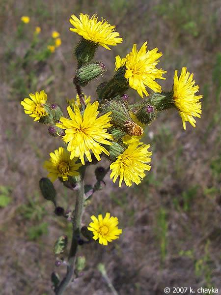 Hieracium Longipilum Hairy Hawkweed Minnesota Wildflowers