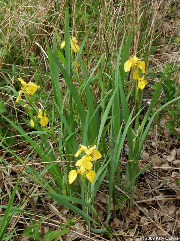 iris pseudacorus paleyellow iris minnesota wildflowers, Natural flower