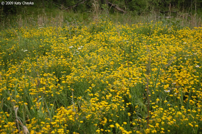 Lotus Corniculatus Birds Foot Trefoil Minnesota Wildflowers