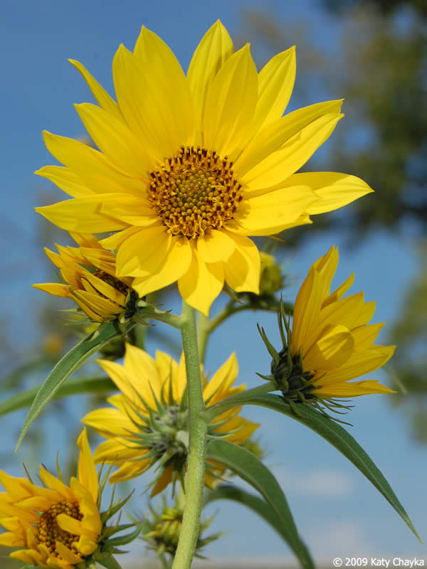 Maximilian Sunflower on Flowers Cycle