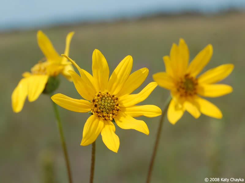 Helianthus occidentalis few leaf sunflower minnesota wildflowers photo of flowers mightylinksfo