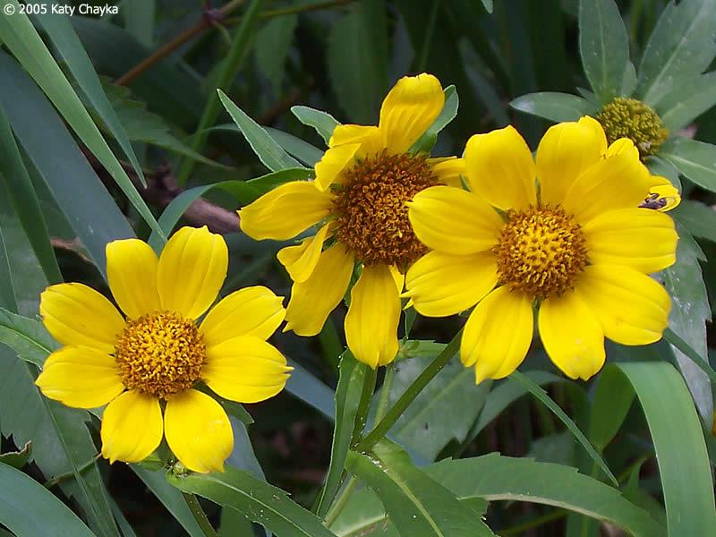 Bidens cernua nodding bur marigold minnesota wildflowers flowers mightylinksfo