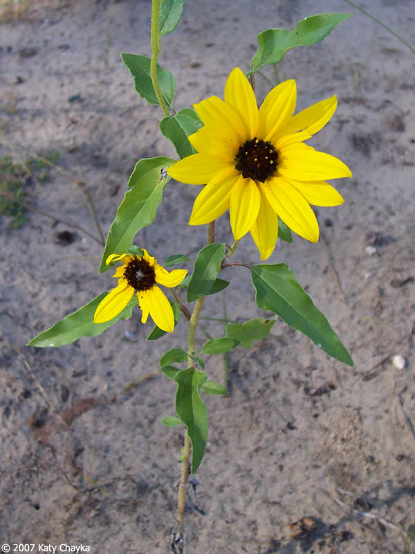 Helianthus Petiolaris Prairie Sunflower Minnesota