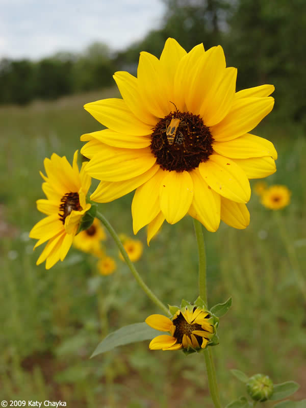 Helianthus petiolaris prairie sunflower minnesota wildflowers flower mightylinksfo