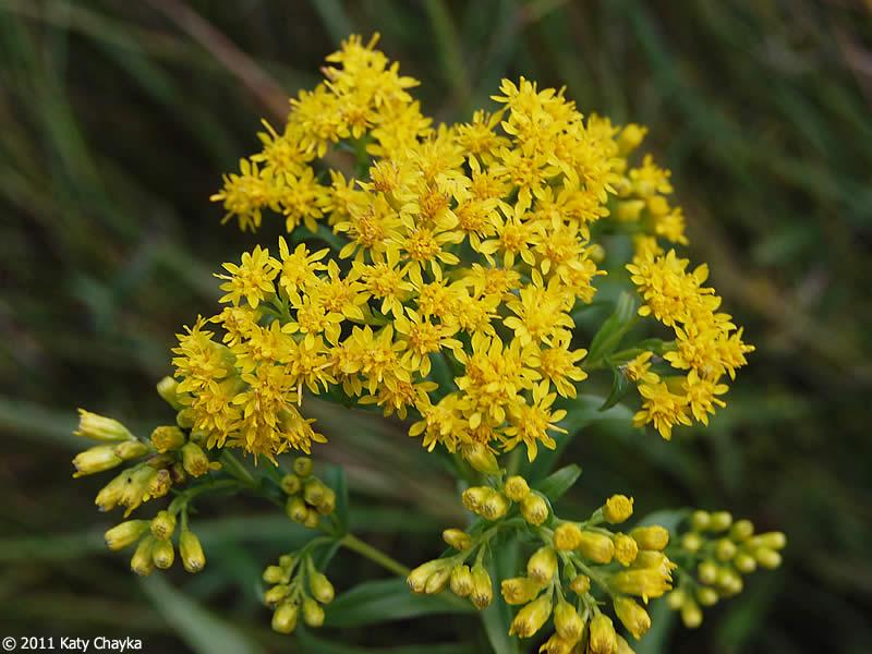 solidago riddellii  riddell u0026 39 s goldenrod   minnesota wildflowers