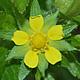 [photo of Rough Cinquefoil]