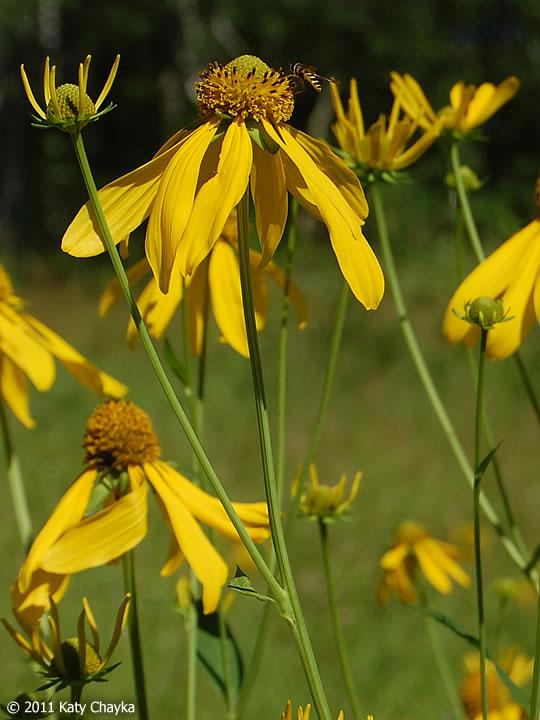 Rudbeckia laciniata (Cut-leaf Coneflower): Minnesota ...