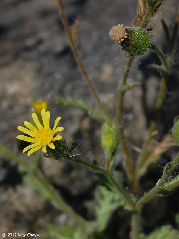 Senecio Viscosus  Sticky Ragwort   Minnesota Wildflowers