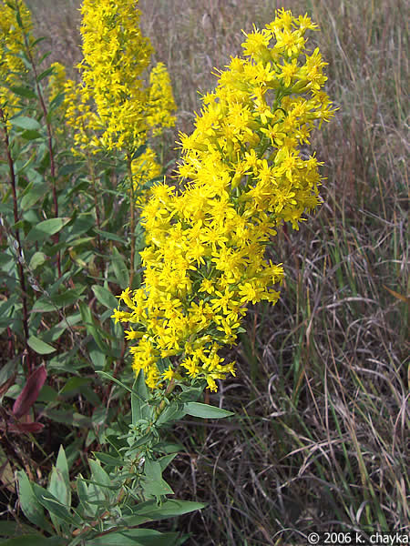 solidago speciosa showy goldenrod minnesota wildflowers