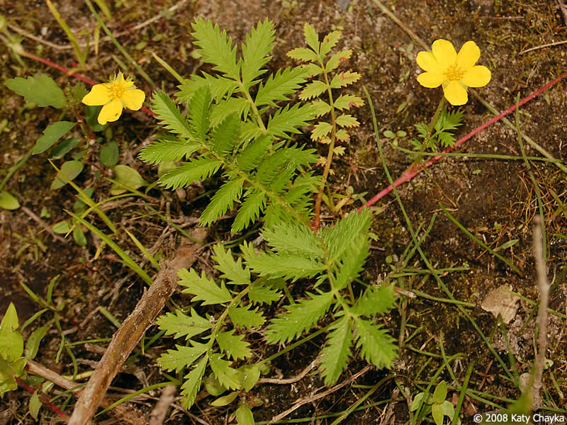 Argentina anserina (Silverweed Cinquefoil): yellow Minnesota ...