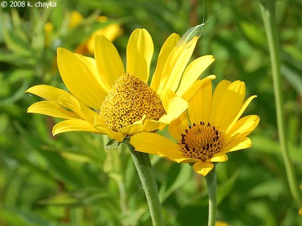 Heliopsis helianthoides smooth oxeye minnesota wildflowers more flowers mightylinksfo